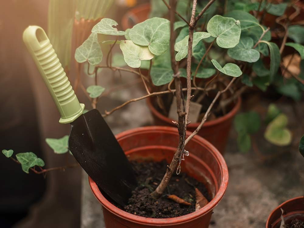 Shovel sticking out of the pot with plant closeup