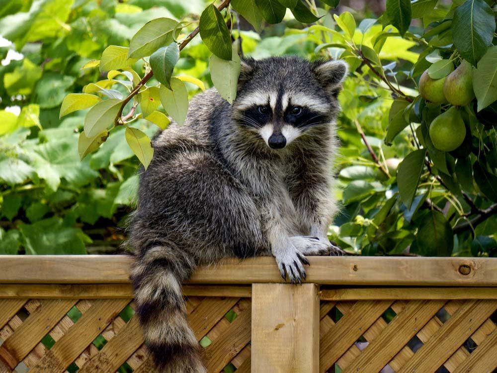 Raccoon in garden
