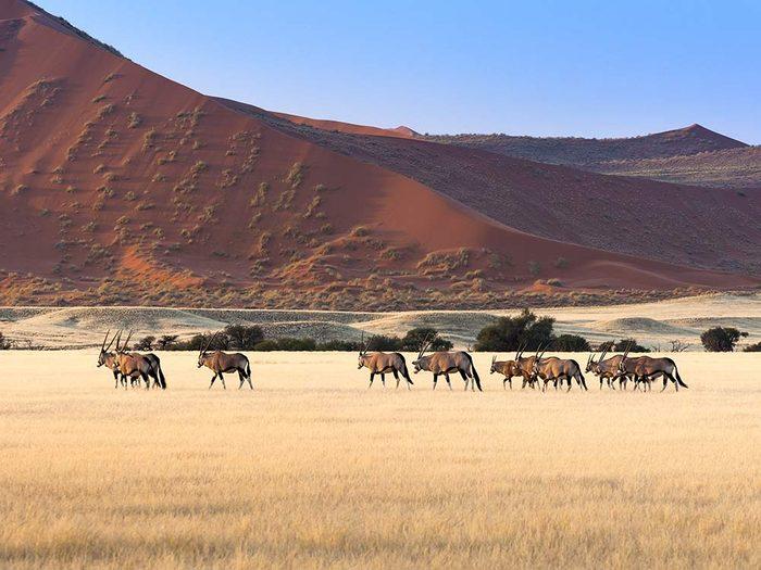 Herd of Gemsbok in Namibia