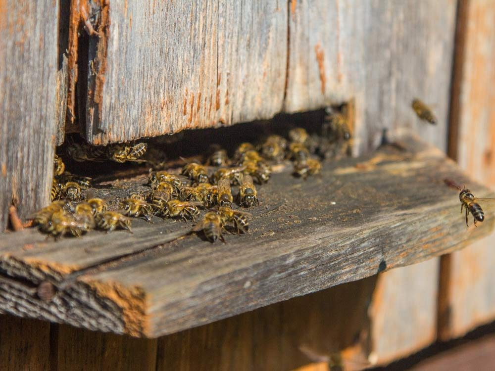 Bees on landing board in apiary