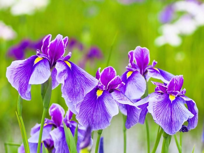 Irises are one of Canada's best summer flowers
