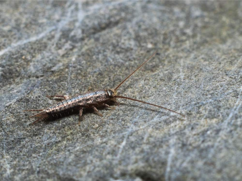 Use spices to stamp out silverfish