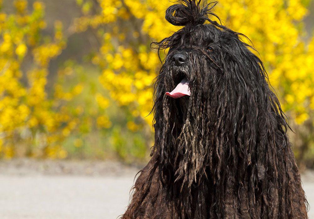 bergamasco-shepherd-strangest-looking-dog-breeds