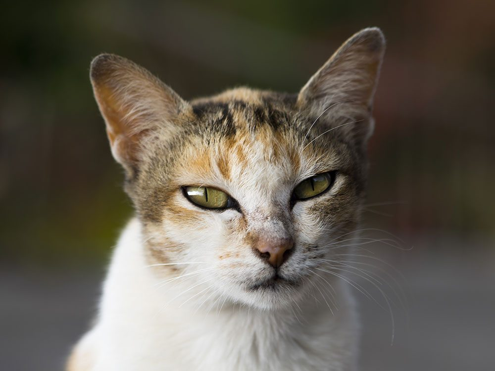 Angry balinese cat
