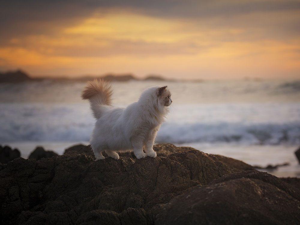 Ragdoll cat on beach