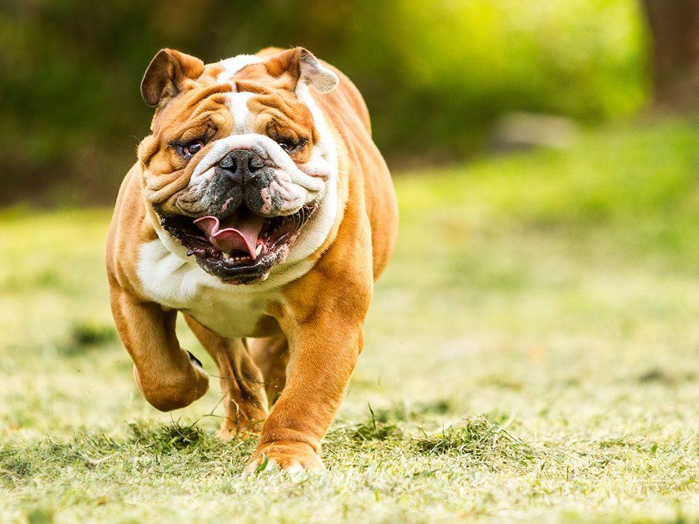 Bulldog running