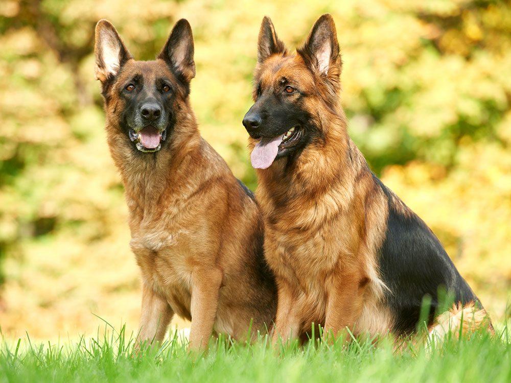 german-shepherd-most-popular-dog-breeds