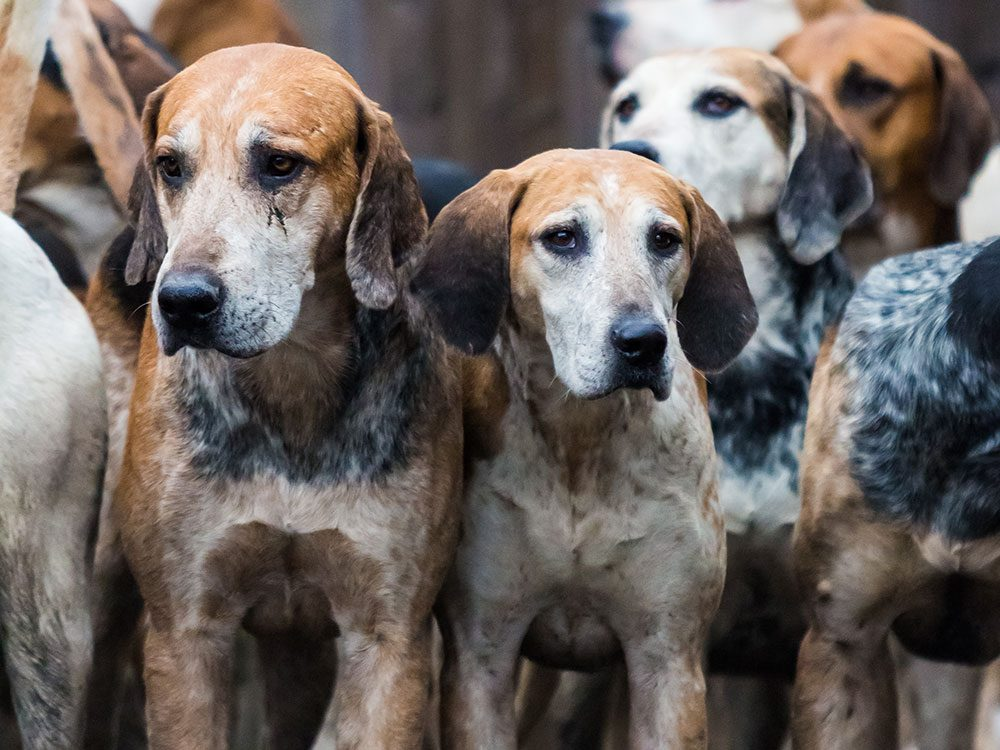 English Foxhound is one of the least popular dog breeds in the United States