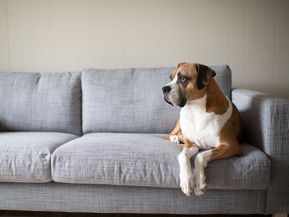Dog alone on couch