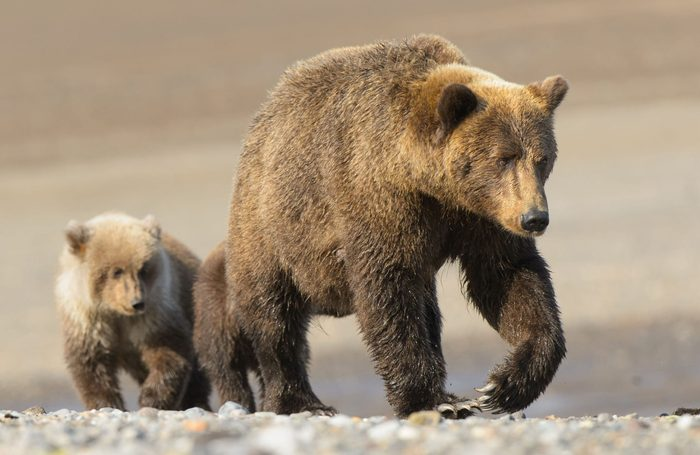Mother and son bear