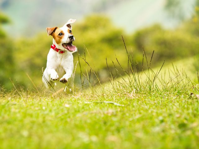 Jack Russell terrier dog leaping on the grass
