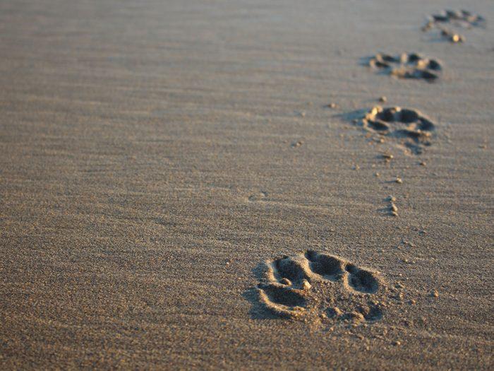 Dog paw prints on the beach