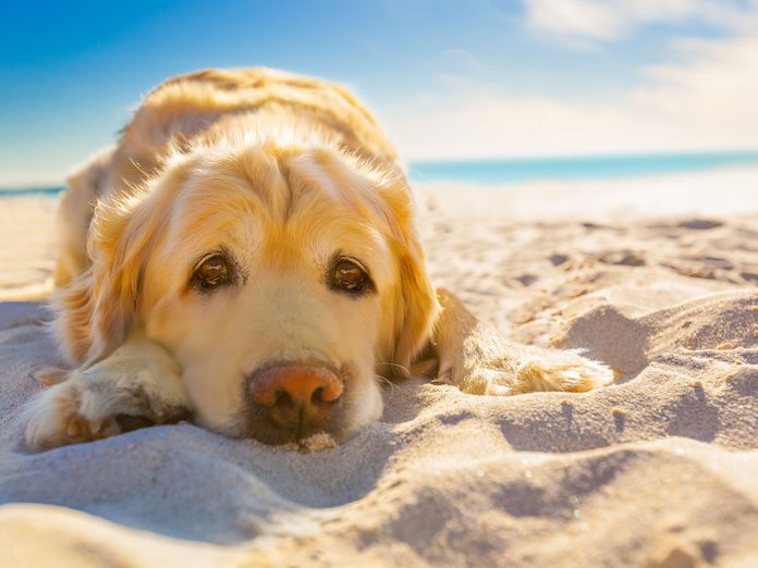 Dog on the beach getting sunburned