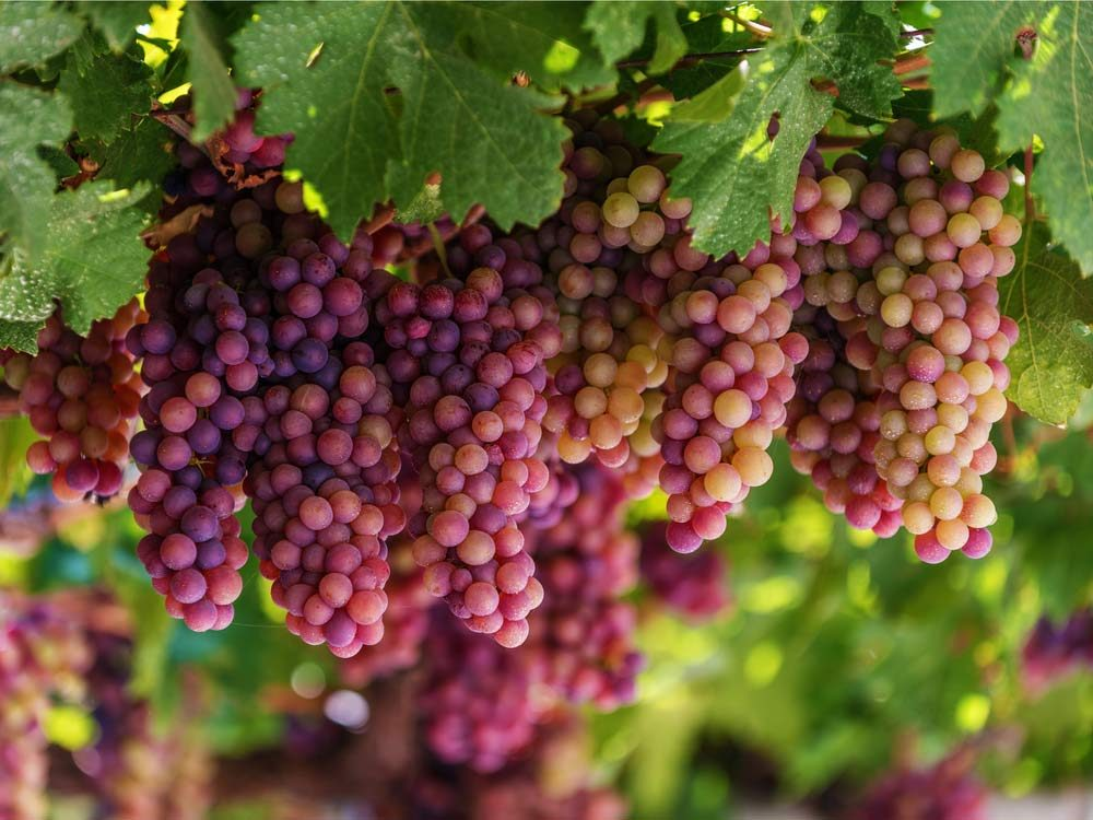 Grapes for winemaking on vineyard in Greece