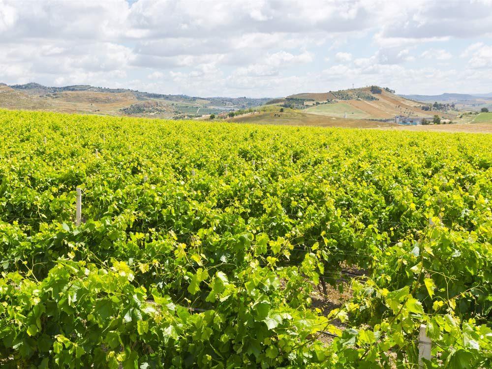Vineyard in Sicily