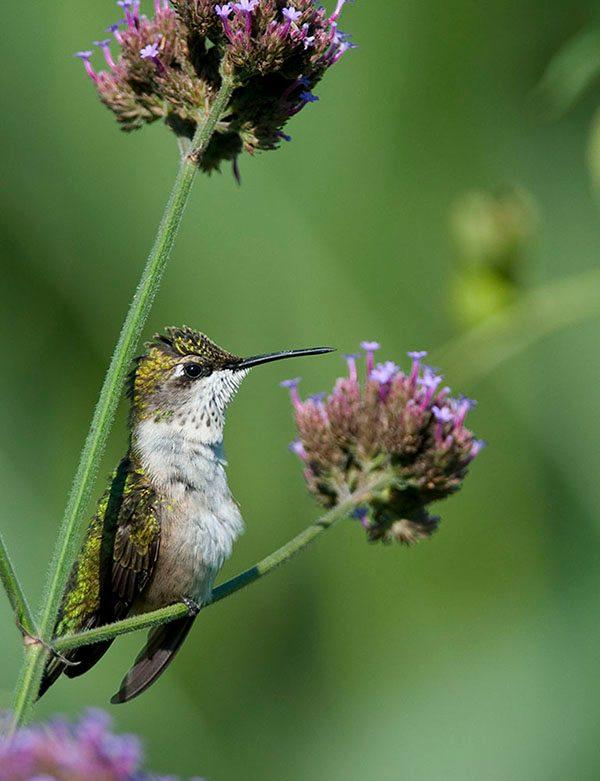 hummingbird_at_rest_jenstlouis