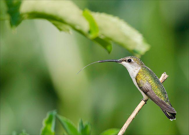hummingbird_on_patrol_jenstlouis