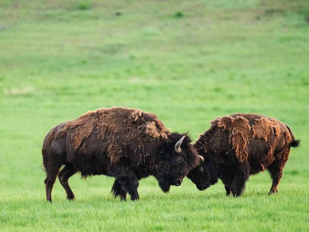 Wild bison in Saskatchewan, Canada