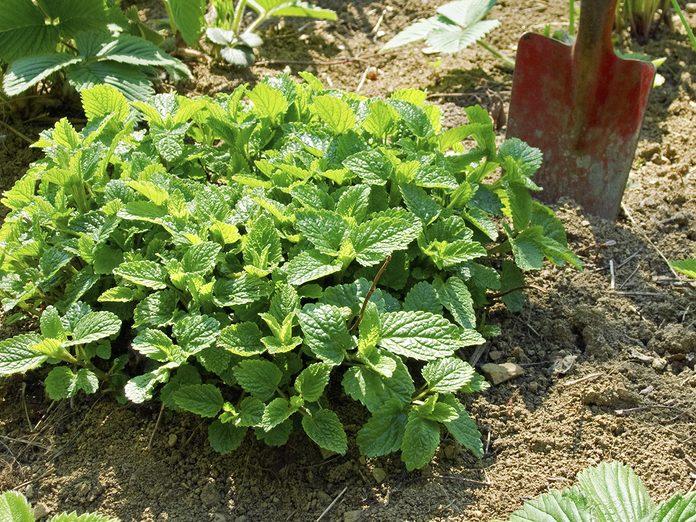 Medicinal plants to grow at home - lemon balm