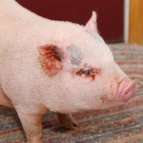 Pot-Bellied Pigs as Pets