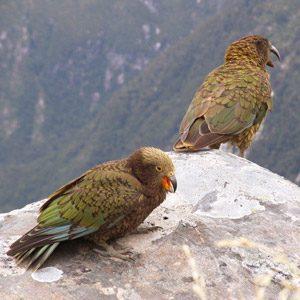 Coolest birds #1: Kea