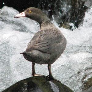 Beautiful birds of NZ #8: Whio (blue duck)