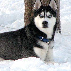 Deman, Siberian Husky