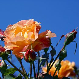 Things to Do With Tea: Give Roses a Boost