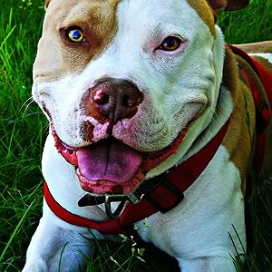 Nuckles, American Staffordshire