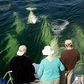 Things To Do in Churchill: Beluga Whale Tour