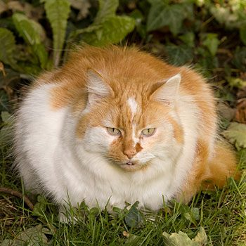 How can I tell if my pet is overweight?