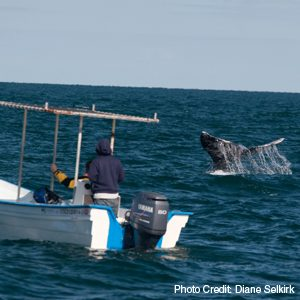 Whale Watching in North America: 2: Pacific Grey Whales