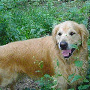 Dash, Golden Retriever
