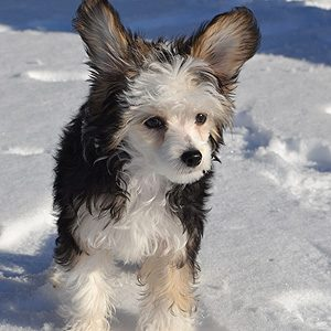 Cinder, Chinese Crested