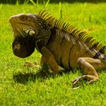Species for Experienced Owners - Iguana