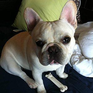 Hamlet, French Bulldog