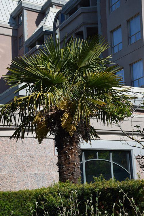 Palm Tree in Victoria, B.C.