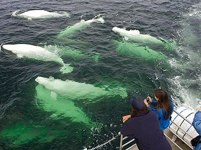 What's Next in Churchill? Take a Beluga-Whale Boat Tour