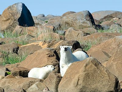 A Churchill To-Do List: View the Summer Population of Polar Bears