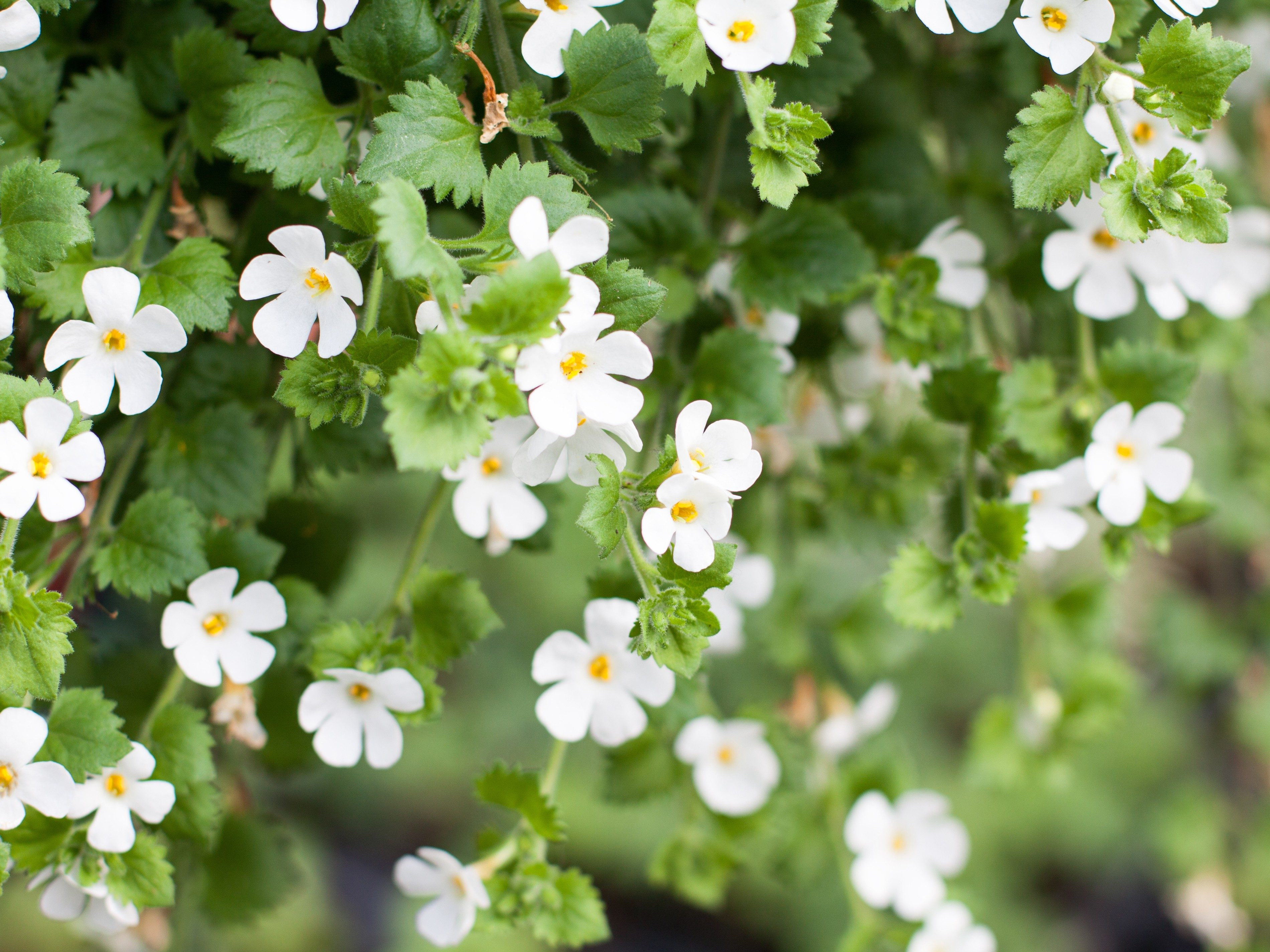 Memory-Boosting Supplement #1: Bacopa