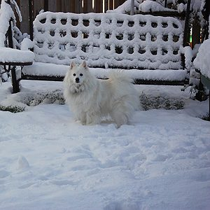 Skippy, American Eskimo