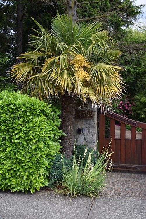 Palm Tree in Oak Bay, B.C.