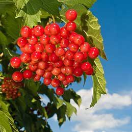 Viburnums (Viburnum, numerous varieties and species)