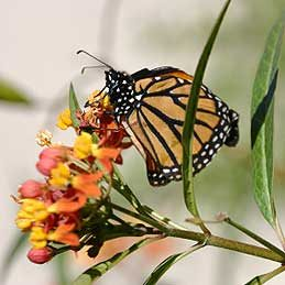 Milkweeds, Butterfly Weeds (Asclepias)