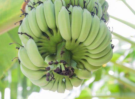 Healthy Bananas: They Grow in Hands