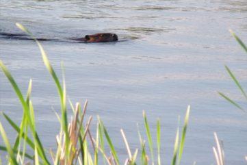 Beaver of the Marsh