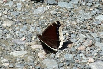 Butterfly at Banding Entrance