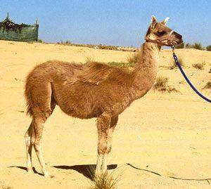 8. Camel (Bull) + Llama (Female) = Cama