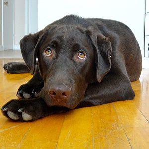 Charlie, Labrador Retriever