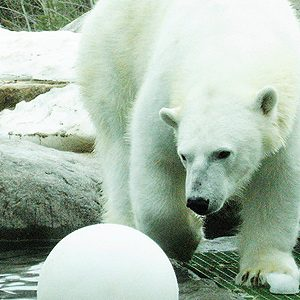 6. Strange Places in Canada: Swim With a Polar Bear, Cochrane, Ontario